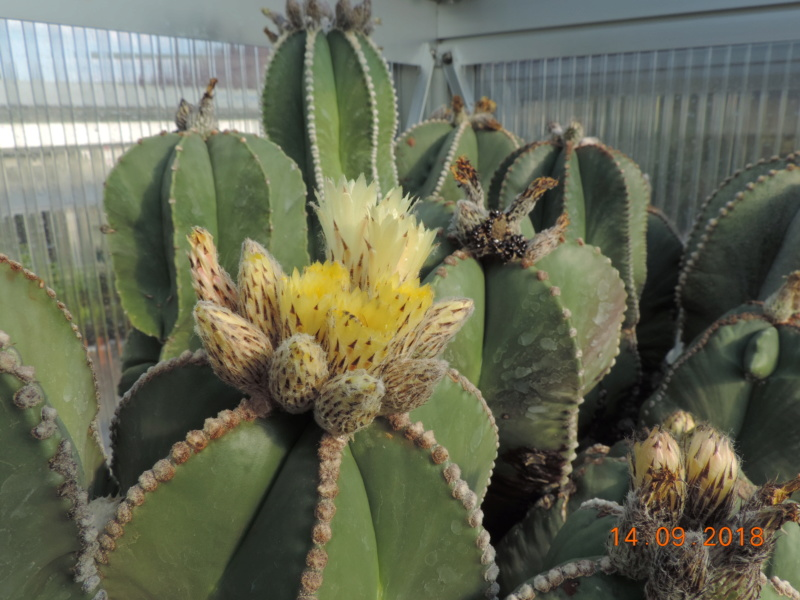 Cacti and Sukkulent in Köln, every day new flowers in the greenhouse Part 199 Bild1146