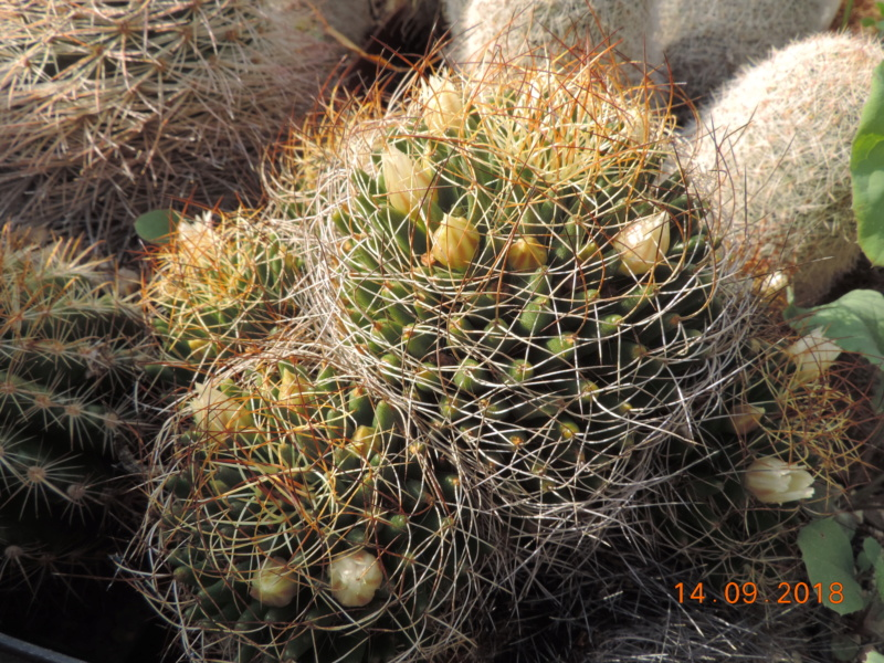 Cacti and Sukkulent in Köln, every day new flowers in the greenhouse Part 199 Bild1147
