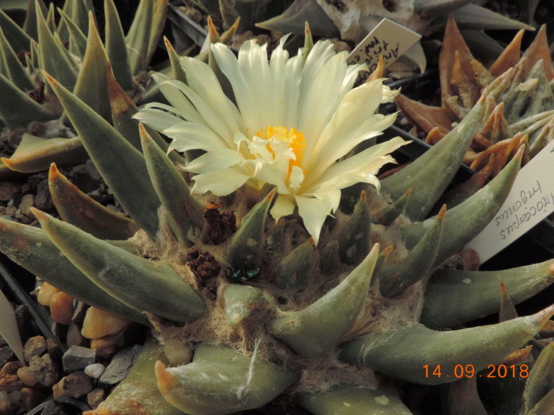 Cacti and Sukkulent in Köln, every day new flowers in the greenhouse Part 199 Bild1150