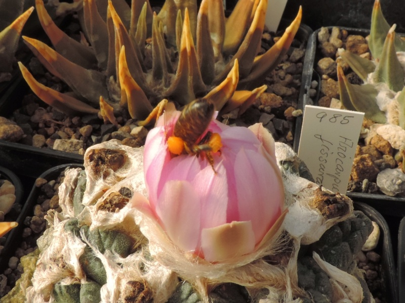 Cacti and Sukkulent in Köln, every day new flowers in the greenhouse Part 199 Bild1152