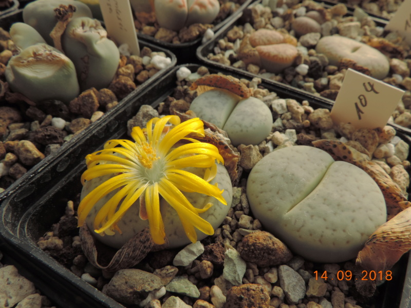 Cacti and Sukkulent in Köln, every day new flowers in the greenhouse Part 199 Bild1157