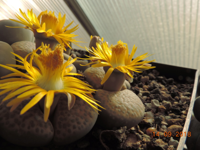 Cacti and Sukkulent in Köln, every day new flowers in the greenhouse Part 199 Bild1158
