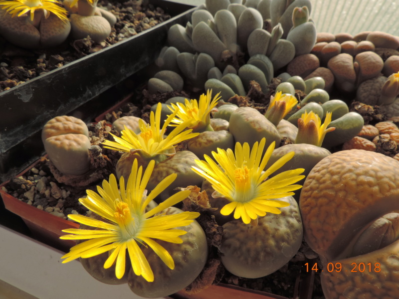 Cacti and Sukkulent in Köln, every day new flowers in the greenhouse Part 199 Bild1159