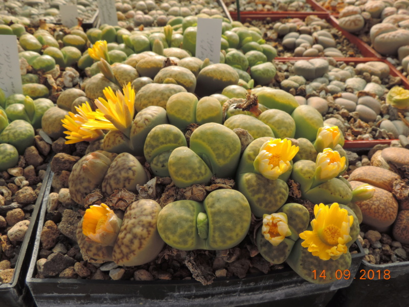 Cacti and Sukkulent in Köln, every day new flowers in the greenhouse Part 199 Bild1160