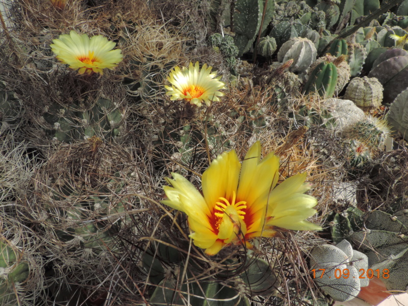 Cacti and Sukkulent in Köln, every day new flowers in the greenhouse Part 199 Bild1175