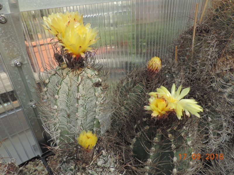 Cacti and Sukkulent in Köln, every day new flowers in the greenhouse Part 199 Bild1177