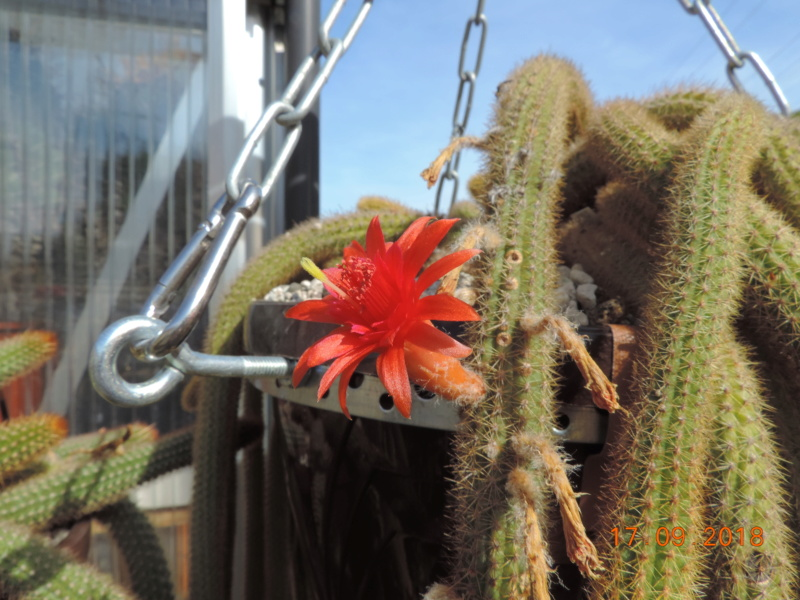 Cacti and Sukkulent in Köln, every day new flowers in the greenhouse Part 200 Bild1192
