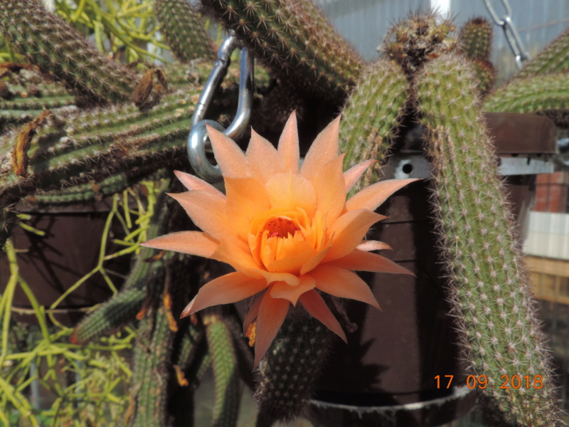 Cacti and Sukkulent in Köln, every day new flowers in the greenhouse Part 200 Bild1193