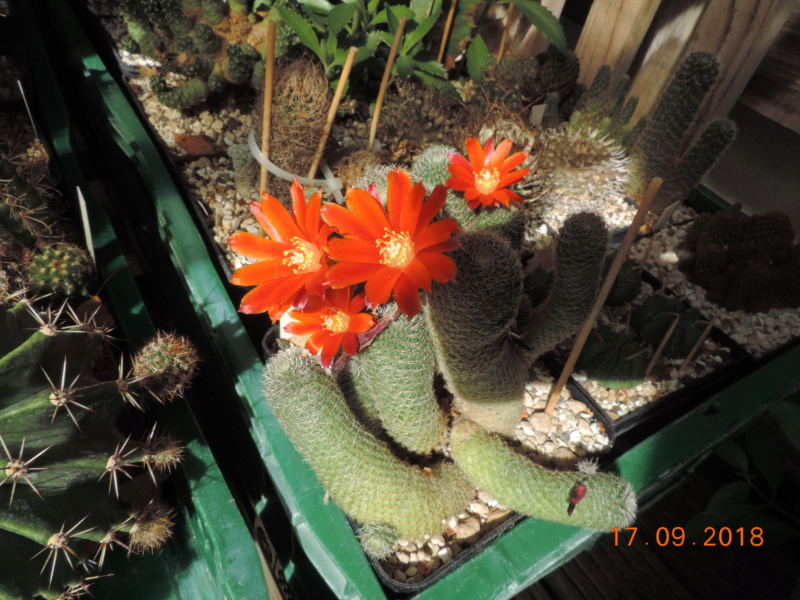 Cacti and Sukkulent in Köln, every day new flowers in the greenhouse Part 200 Bild1194