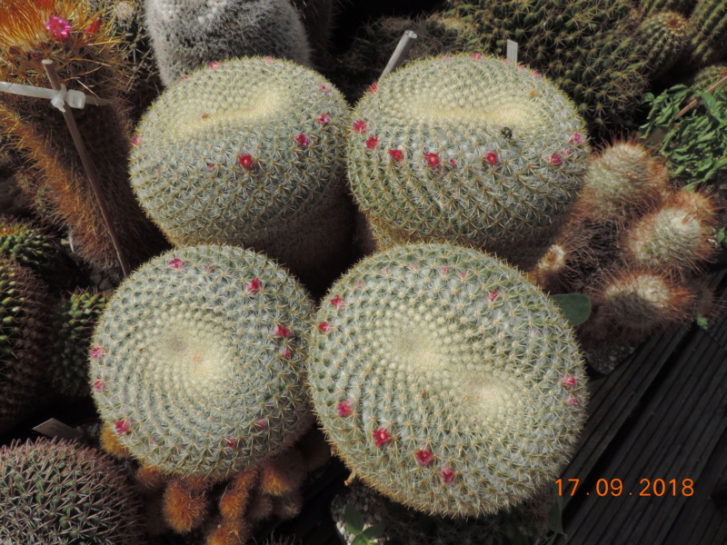 Cacti and Sukkulent in Köln, every day new flowers in the greenhouse Part 200 Bild1195