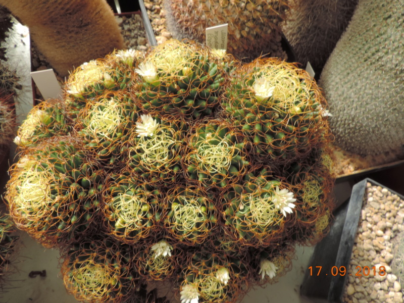 Cacti and Sukkulent in Köln, every day new flowers in the greenhouse Part 200 Bild1203