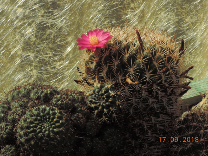 Cacti and Sukkulent in Köln, every day new flowers in the greenhouse Part 200 Bild1207