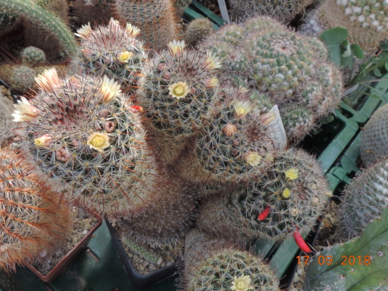Cacti and Sukkulent in Köln, every day new flowers in the greenhouse Part 200 Bild1210