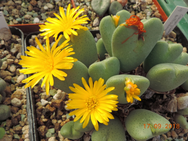Cacti and Sukkulent in Köln, every day new flowers in the greenhouse Part 200 Bild1213