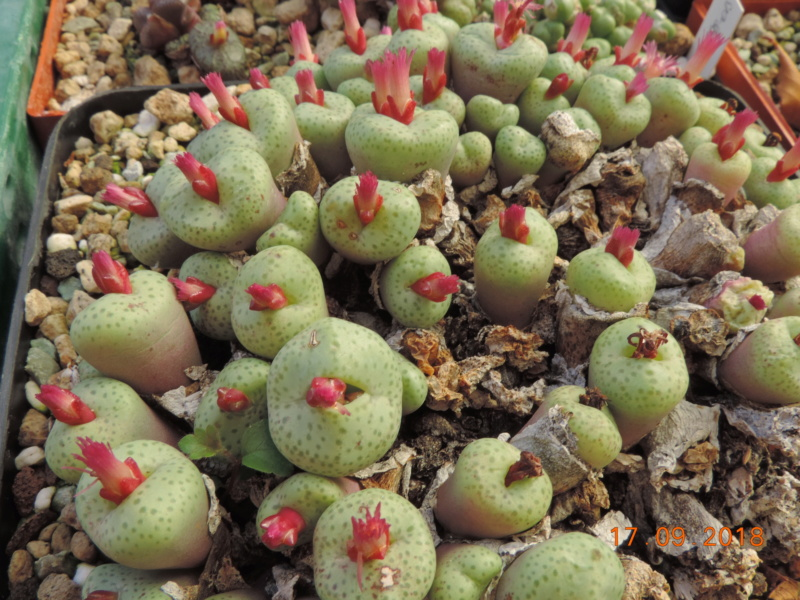 Cacti and Sukkulent in Köln, every day new flowers in the greenhouse Part 200 Bild1217