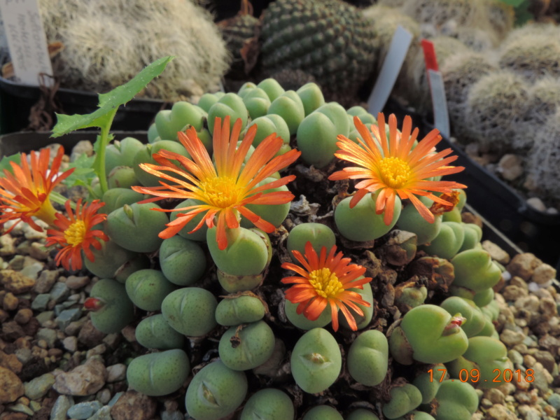 Cacti and Sukkulent in Köln, every day new flowers in the greenhouse Part 200 Bild1221