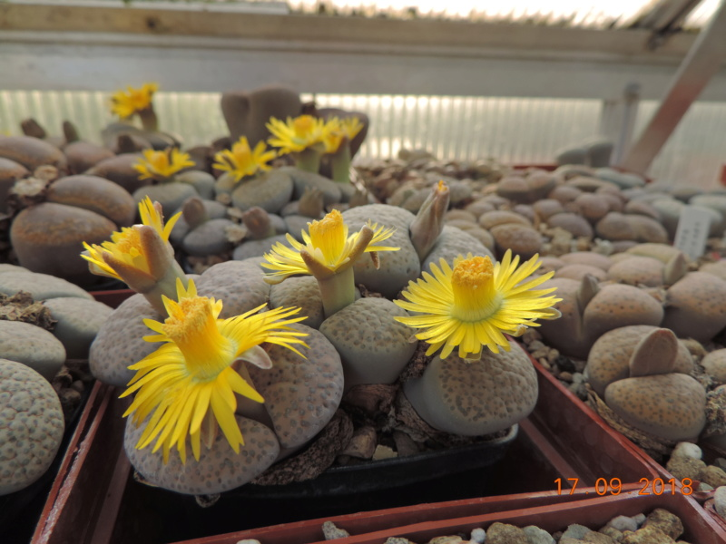 Cacti and Sukkulent in Köln, every day new flowers in the greenhouse Part 200 Bild1226