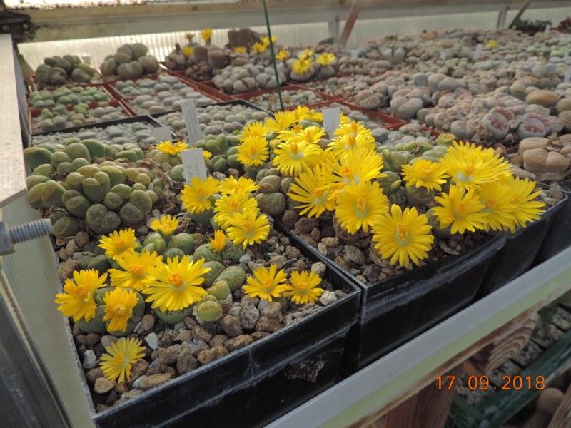 Cacti and Sukkulent in Köln, every day new flowers in the greenhouse Part 200 Bild1228