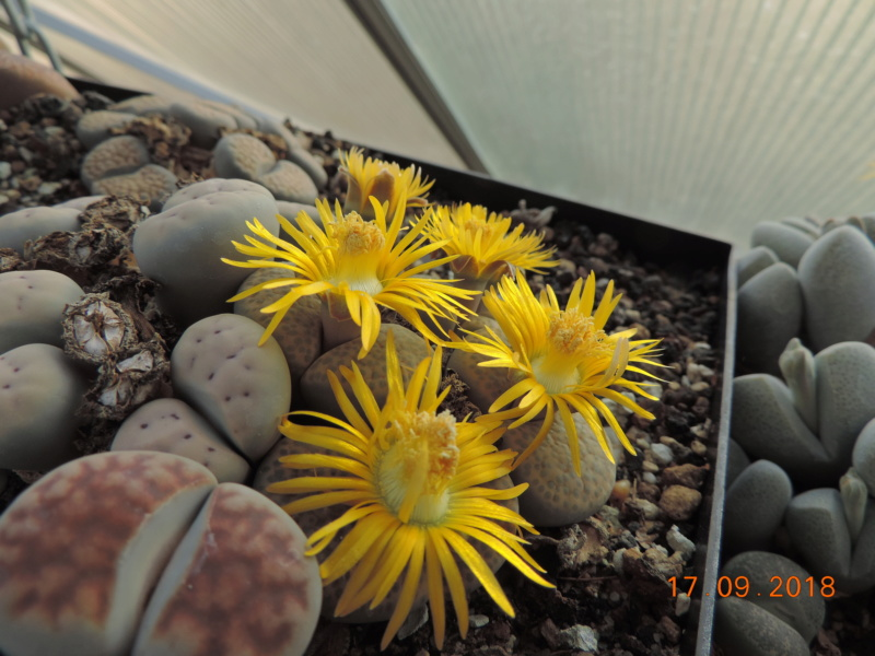 Cacti and Sukkulent in Köln, every day new flowers in the greenhouse Part 200 Bild1229