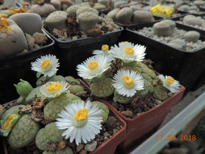 Cacti and Sukkulent in Köln, every day new flowers in the greenhouse Part 200 Bild1230