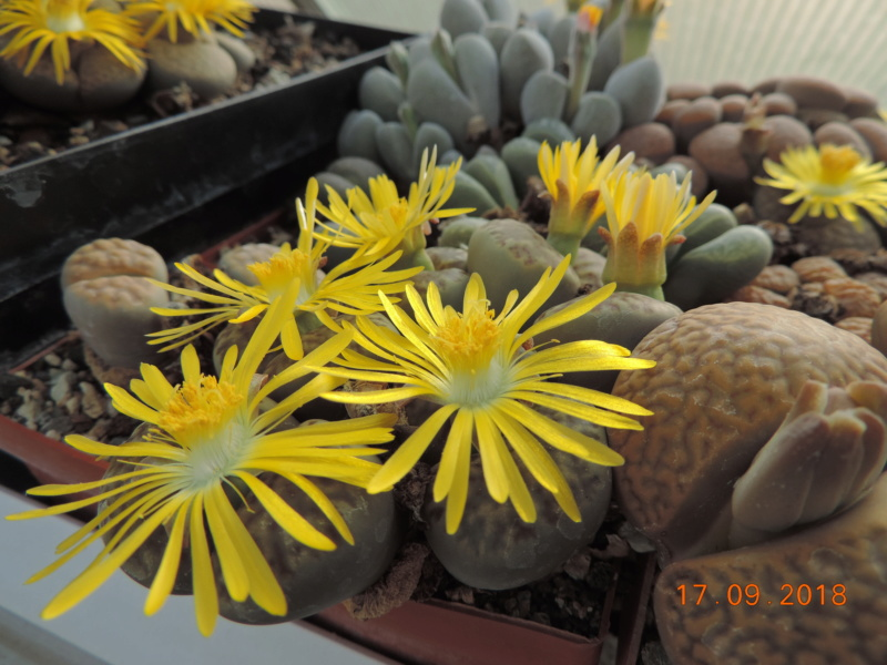 Cacti and Sukkulent in Köln, every day new flowers in the greenhouse Part 200 Bild1231