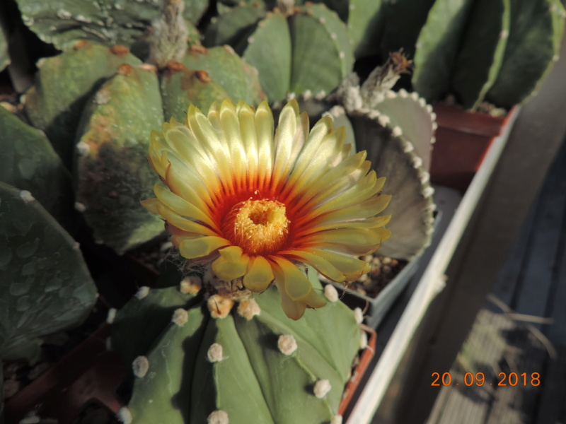 Cacti and Sukkulent in Köln, every day new flowers in the greenhouse Part 200 Bild1239