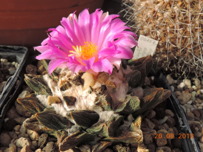 Cacti and Sukkulent in Köln, every day new flowers in the greenhouse Part 200 Bild1245