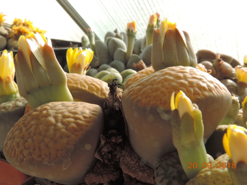Cacti and Sukkulent in Köln, every day new flowers in the greenhouse Part 200 Bild1249