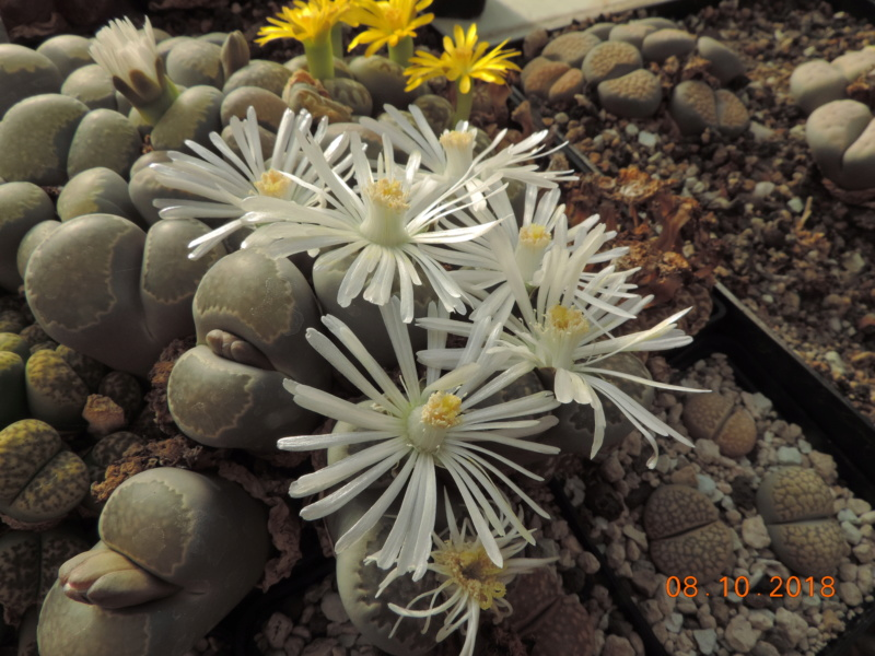 Cacti and Sukkulent in Köln, every day new flowers in the greenhouse Part 200 Bild1251