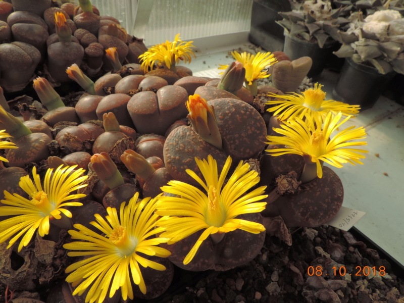 Cacti and Sukkulent in Köln, every day new flowers in the greenhouse Part 200 Bild1255