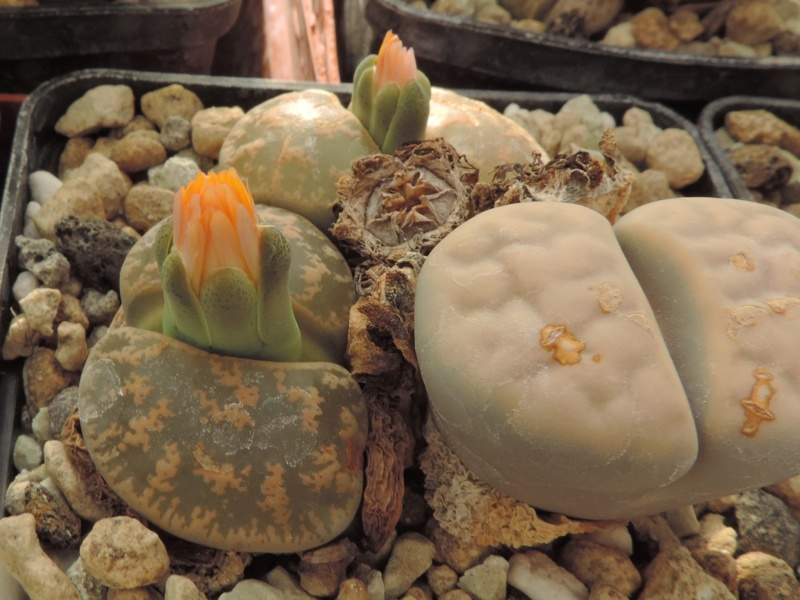 Cacti and Sukkulent in Köln, every day new flowers in the greenhouse Part 200 Bild1256