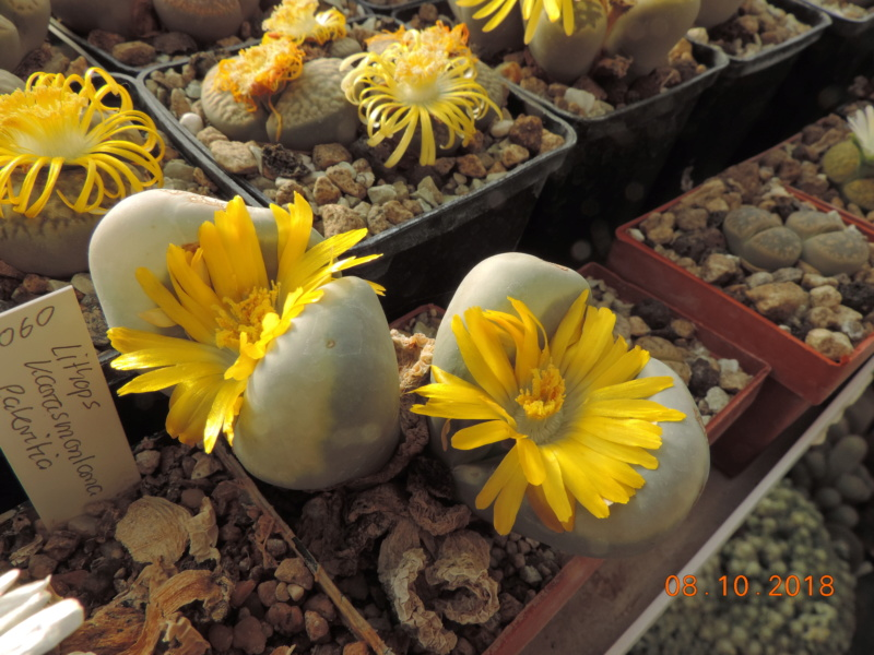 Cacti and Sukkulent in Köln, every day new flowers in the greenhouse Part 200 Bild1259