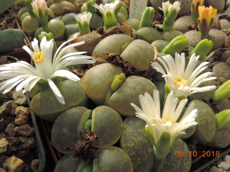 Cacti and Sukkulent in Köln, every day new flowers in the greenhouse Part 200 Bild1260