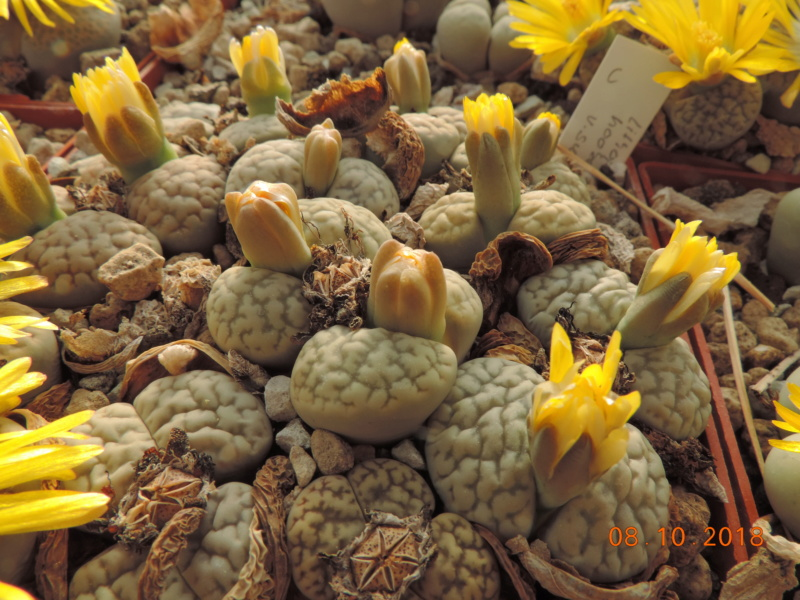 Cacti and Sukkulent in Köln, every day new flowers in the greenhouse Part 200 Bild1265