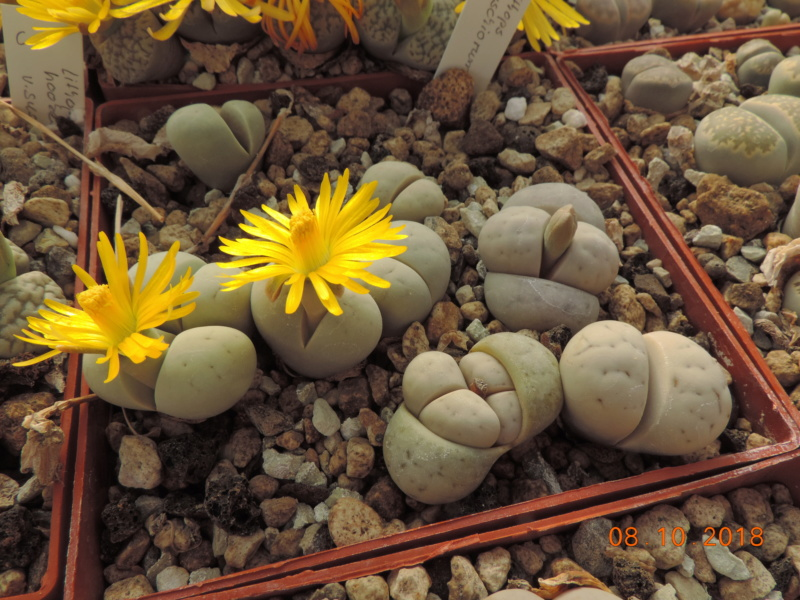 Cacti and Sukkulent in Köln, every day new flowers in the greenhouse Part 200 Bild1267