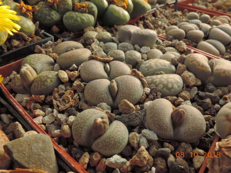 Cacti and Sukkulent in Köln, every day new flowers in the greenhouse Part 200 Bild1271