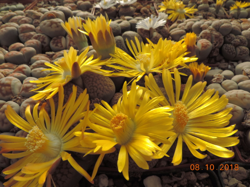 Cacti and Sukkulent in Köln, every day new flowers in the greenhouse Part 200 Bild1272