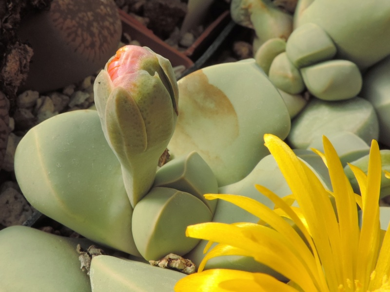 Cacti and Sukkulent in Köln, every day new flowers in the greenhouse Part 200 Bild1273