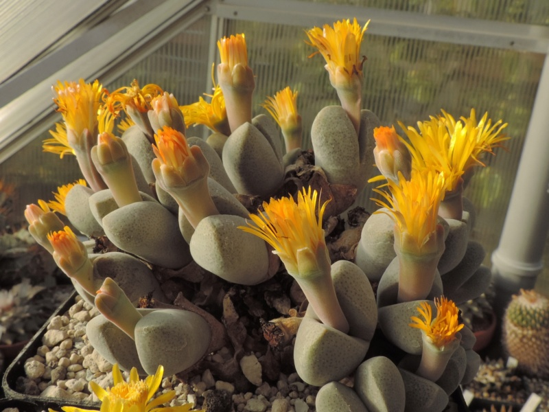 Cacti and Sukkulent in Köln, every day new flowers in the greenhouse Part 200 Bild1280
