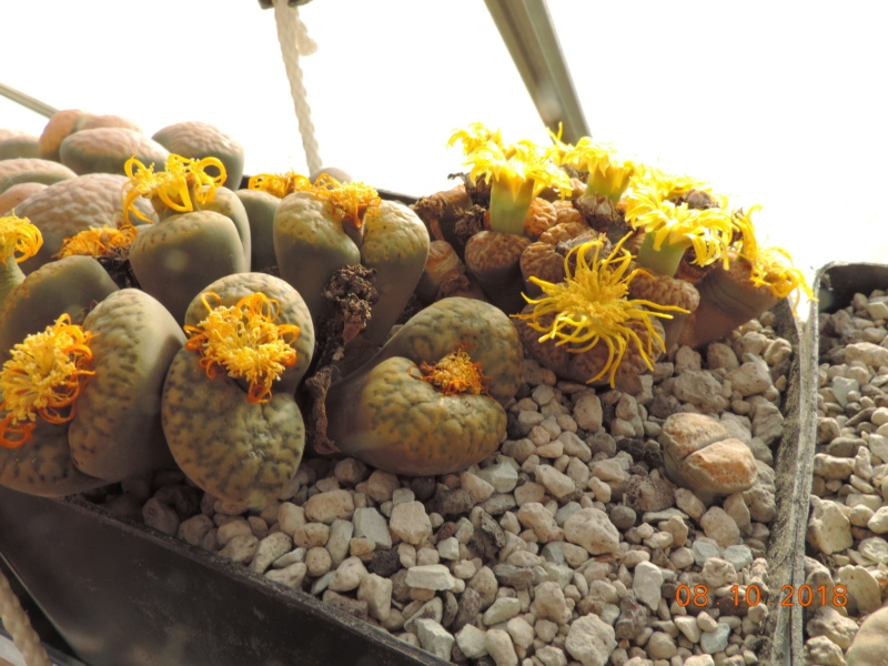 Cacti and Sukkulent in Köln, every day new flowers in the greenhouse Part 200 Bild1289