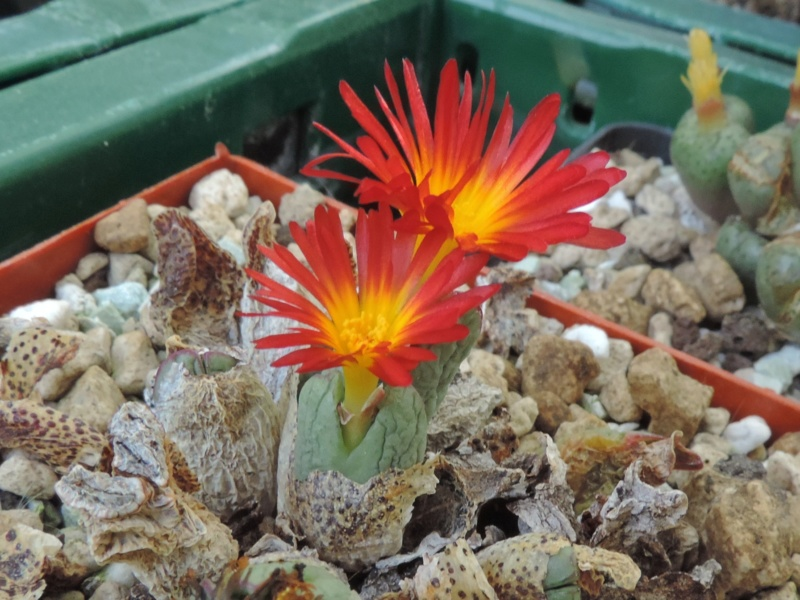 Cacti and Sukkulent in Köln, every day new flowers in the greenhouse Part 200 Bild1298