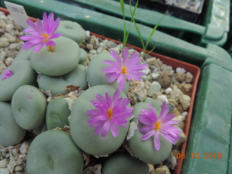 Cacti and Sukkulent in Köln, every day new flowers in the greenhouse Part 200 Bild1299