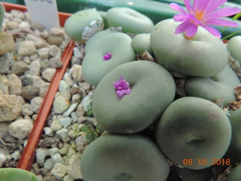 Cacti and Sukkulent in Köln, every day new flowers in the greenhouse Part 200 Bild1300
