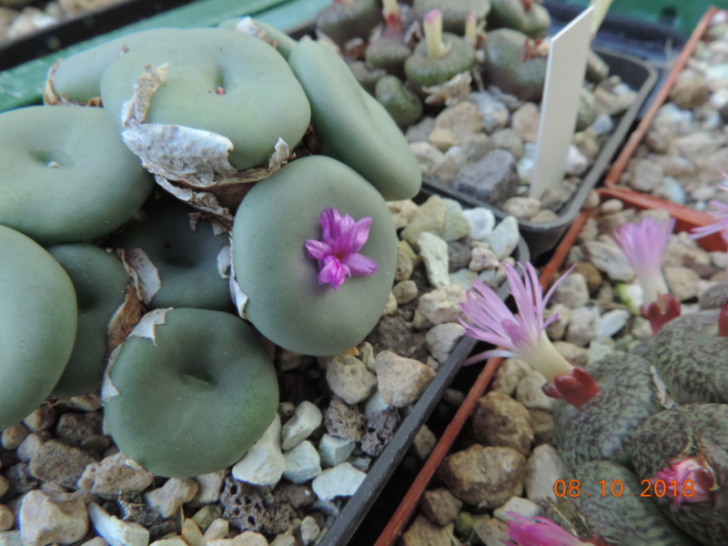 Cacti and Sukkulent in Köln, every day new flowers in the greenhouse Part 200 Bild1305