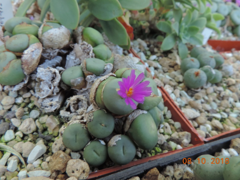 Cacti and Sukkulent in Köln, every day new flowers in the greenhouse Part 200 Bild1306