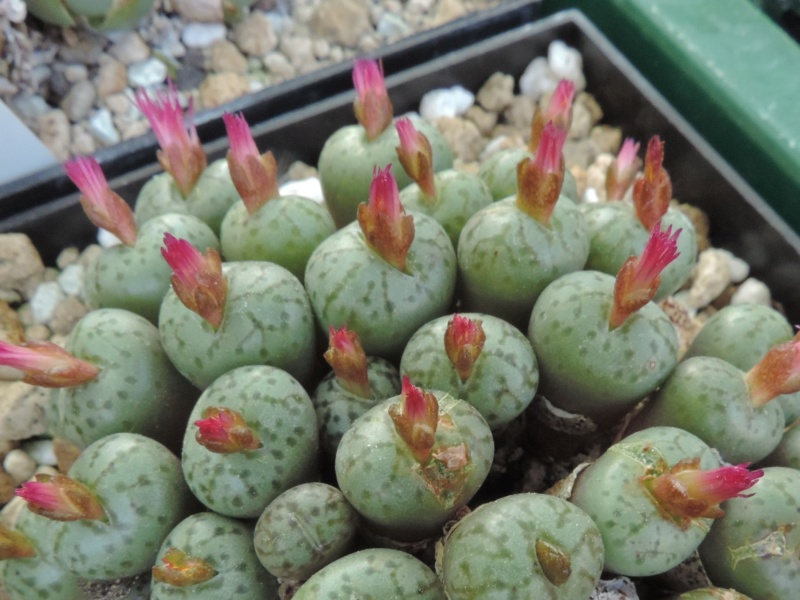 Cacti and Sukkulent in Köln, every day new flowers in the greenhouse Part 200 Bild1307