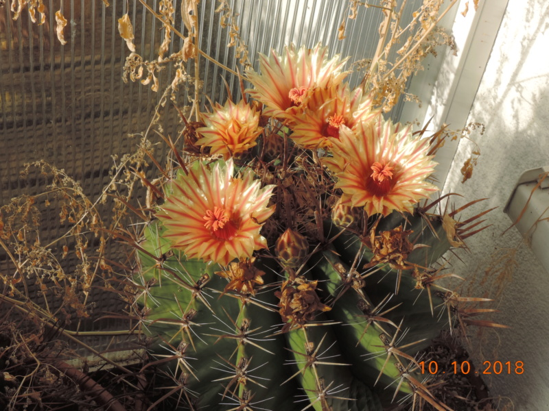 Cacti and Sukkulent in Köln, every day new flowers in the greenhouse Part 200 Bild1316