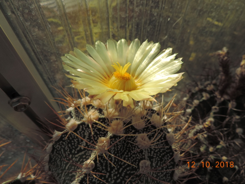 Cacti and Sukkulent in Köln, every day new flowers in the greenhouse Part 200 Bild1323