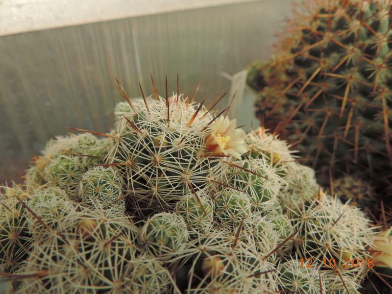Cacti and Sukkulent in Köln, every day new flowers in the greenhouse Part 200 Bild1326