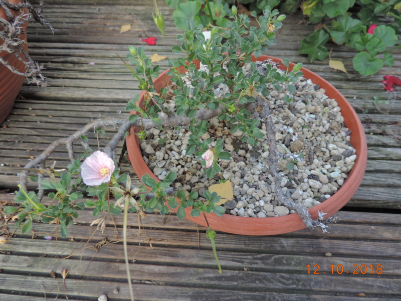 Cacti and Sukkulent in Köln, every day new flowers in the greenhouse Part 200 Bild1329